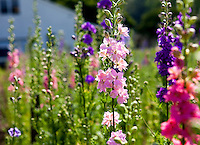 Larkspur growing in Heirloom flower farm; Lisa Ziegler Gardeners Workshop