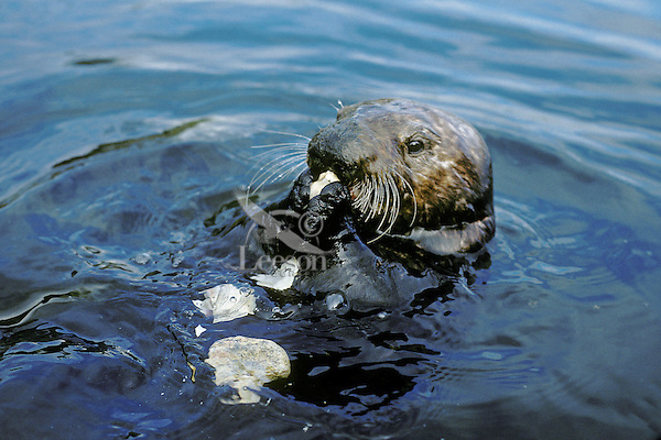 Sea Otter eating clam it has broken open on rock.  California.