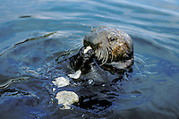 Sea Otter eating clam it has broken open on rock.  California.