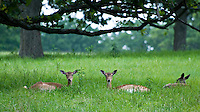 Deer sitting in Woolaroc in Northeast part of Oklahoma in the Osage Hills