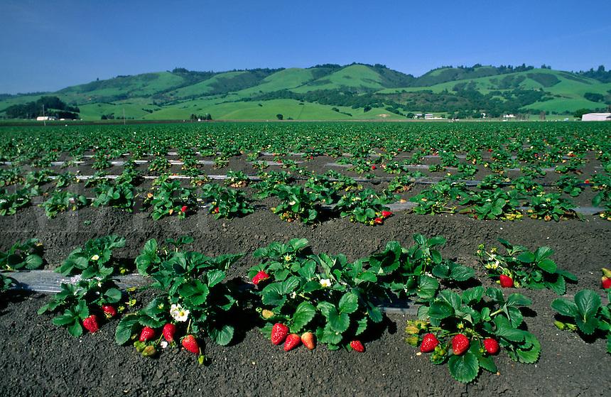Strawberry field - Watsonville, California.