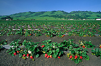 Strawberry field - Watsonville, California.
