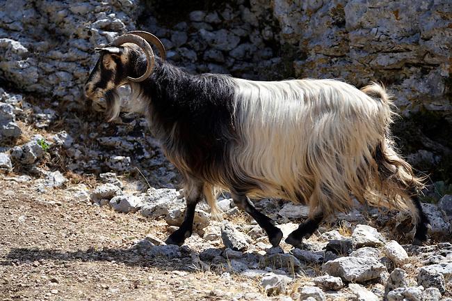 Mountain goats on Mount Ainos, Kefalonia, Ionian Islands, Greece.