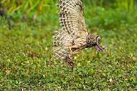 Barred Owl preying on crayfish (crawfish) in southern swamp, LA.