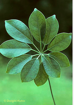 HS03-001b  Arboricola - whorled leaf arrangement, showing leaves turned to face light source