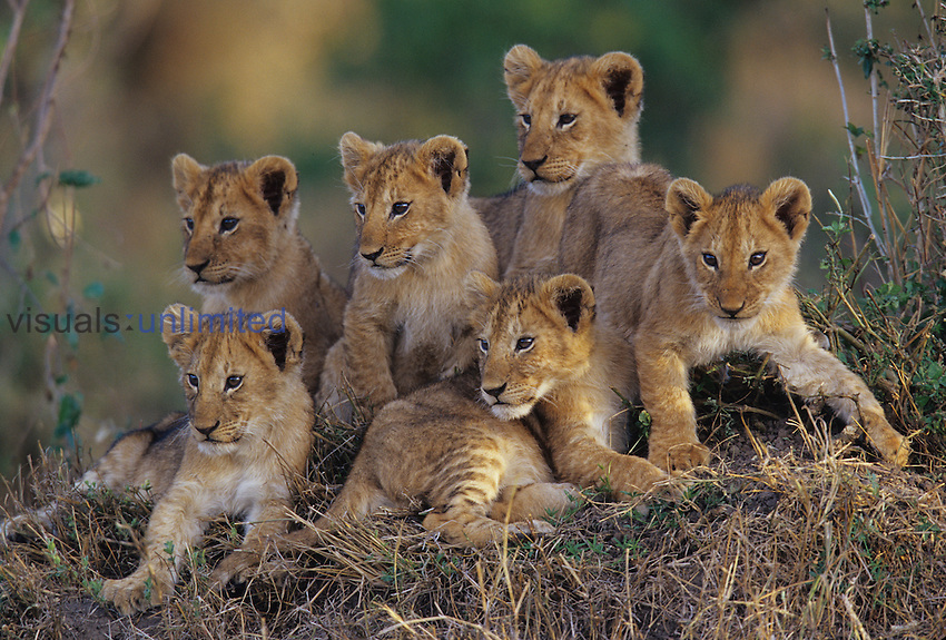 Six African Lion cubs ,Panthera leo, watching and waiting for mom to return, Kenya.