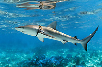 Galapagos shark, Carcharhinus galapagensis, with marine debri on neck, Midway Atoll, Papahanaumokuakea Marine National Monument, UNESCO World Heritage Site, Northwestern Hawaiian Islands, Leeward Islands, Hawaii, USA, Pacific Ocean