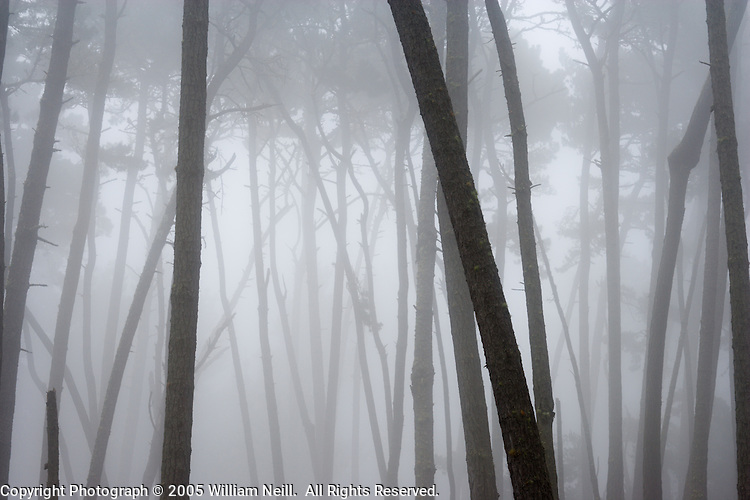 Monterey Pines in morning fog, Monterey, California