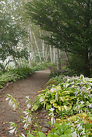 Shade woods garden with birch trees, hostas in bloom, dirt path