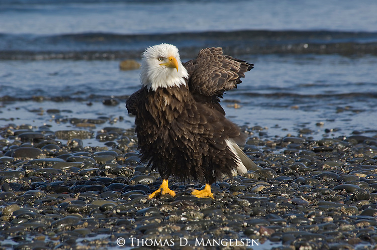 A bald eagle on the shore of Homer, Alaska.