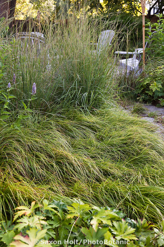 Low groundcover layer of Geranium and Carex pennsylvanica, Pennsylvania Sedge by path leading to patio sitting area in Mayberg backyard habitat garden with native grass, Prairie Dropseed (Sporobolus heterolepis)