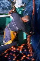 """Europe/France/Bretagne/56/Morbilhan/Quiberon: Pèche à la sardine sur le sardinier """"Kanedeven"""""""
