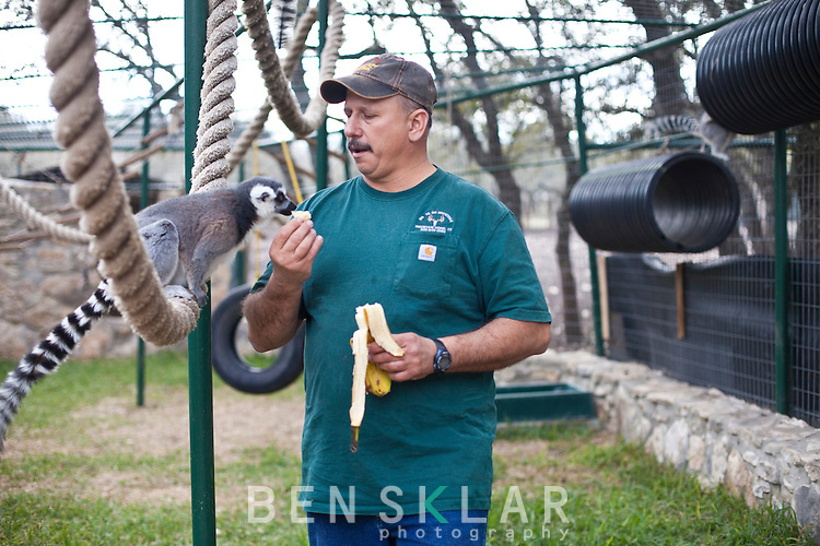 Anthony Matone, owner of Wa-To-Go Exotics, has lemurs in a habitat he built on his nearly 250-acre ranch near Mountain Home, Texas. Although Matone lives 39-miles from the nearest town, he no longer has a mountain lion because it is considered dangerous. ..Ben Sklar