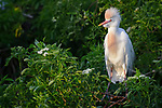 Cattle Egret, Osceola County, Florida
