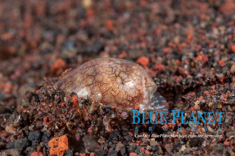 Sea Snail, Natica sp, burrowing into sand, Seraya Beach Resort house reef, Bali, Indonesia, Indian Ocean
