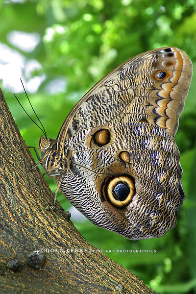 Tropical Butterfly, Giant Owl, Caligo eurilochus
