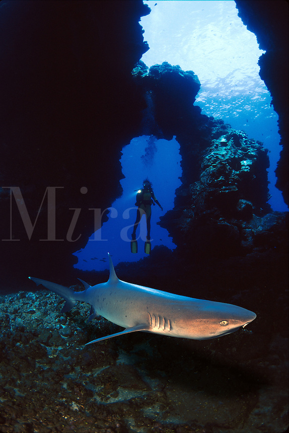 This diver (MR) was photographed in a lava cavern off the island of Lanai. The whitetip reef shark, Triaenodon obesus.