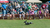 "NWA Democrat-Gazette/J.T. WAMPLER A racing dachshund streaks down the track in front of a packed grandstand Saturday Oct. 6, 2018 at the 12th Annual ""Weiner Takes All"" Arkansas State Championship Weiner Dog Races in Bella Vista. The event is an annual fundraiser for the Bella Vista animal shelter. For information about adopting or donating visit http://bellavista-animalshelter.org/"