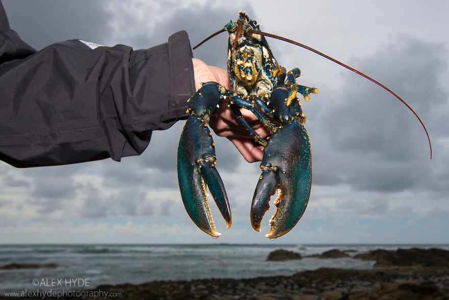 European / Common Lobster (Homarus gammarus) being released to replenish wild population. Cornwall, UK. May.