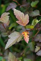 Physocarpus opulifolius 'Coppertina'  shrub foliage in late spring leaves, Ninebark . Note that Physocarpus 'Coppertina' aka Mindia is called Physocarpus opulifolius 'Diable D'Or' aka Mindia in Europe.