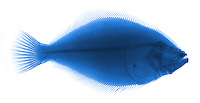 X-ray of a flounder (order Pleuronectiformes) with false color.