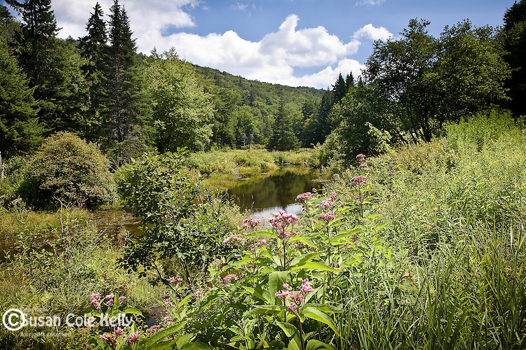 Wildflower meadow,  Green Mountain National Forest, Somerset, VT, USA