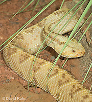 0511-1105  Neotropical Rattlesnake (South American Rattlesnake), Crotalus durissimus  © David Kuhn/Dwight Kuhn Photography