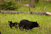 A mother black bear grazes with a cubs near Tower Falls in Yellowstone National Park, Tuesday, May 31, 2005. (Kevin Moloney for the New York Times)
