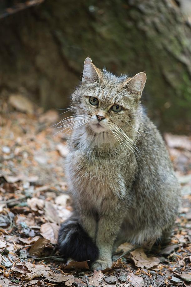 Wilde kat (Felis silvestris) vrouwtje