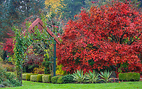 Vashon-Maury Island, WA: Autumn reds, yellows and burgandies in a fall garden with Japanese maple, climbing rose, varigated yuccas at Froggsong Gardens