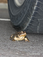 0304-0909  American Toad Crossing Paved Road Under Car and Tires During Rain Event in Spring, © David Kuhn/Dwight Kuhn, Anaxyrus americanus, formerly Bufo americanus Photography