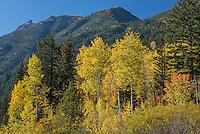 Aspen trees and mountains, Methow Valley, Washington