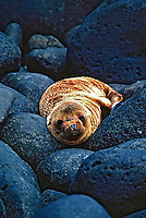 Animais. Mamiferos. Focas (Arctocephalus galagoensis). Galápagos. Foto de Juca Martins.