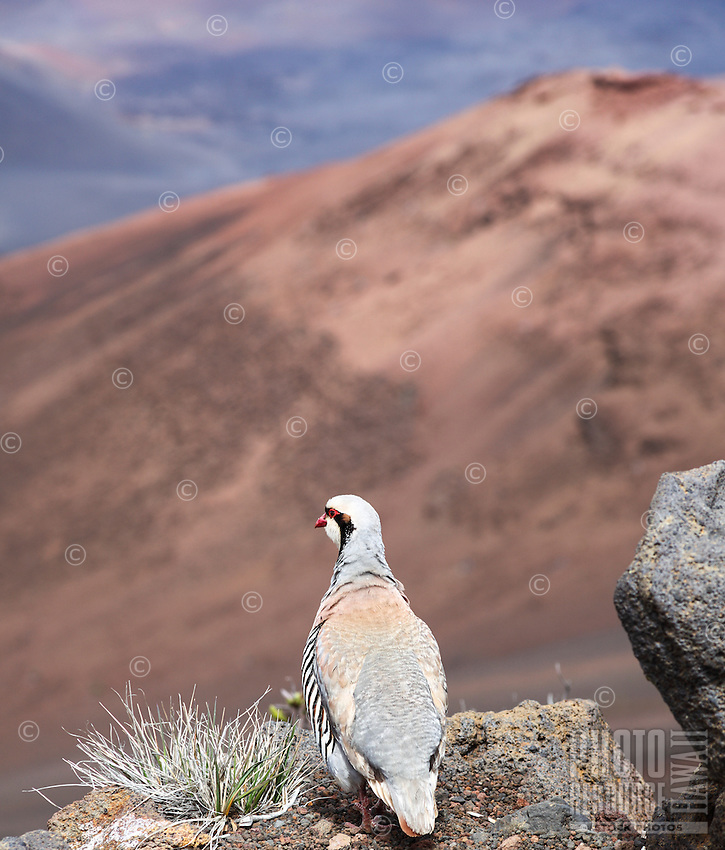 A chukar partridge with black and white striped flanks is spotted during a hike at Haleakala National Park, Maui.