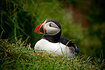 July 2016 - Borgarfjordur Eystri -  Puffins in the Eastern Fjords, Borgarfjordur Eystri, Iceland.