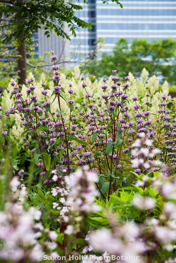 Monarda 'Scorpion', Beebalm, Bergamot upright towering perennial in Lurie Garden Millenium Park, Chicago
