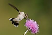 Ruby-throated Hummingbird (Archilochus colubris), female feeding on Texas thistle (Cirsium texanum), Fennessey Ranch, Refugio, Coastal Bend, Texas Coast, USA