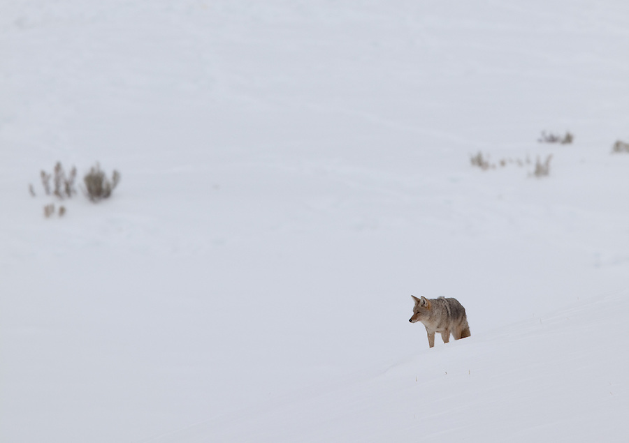 A single coyote makes its way across the snowy landscape of Yellowstone National Park.