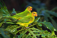 Perfect Lorikeets pair, photographed in captivity, native to Timor and the Lesser Sunda