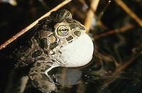 Wechselkröte, Wechsel-Kröte, Grüne Kröte, Männchen ruft mit Schallblase an Kehle, Bufotes viridis, Bufo viridis, green toad