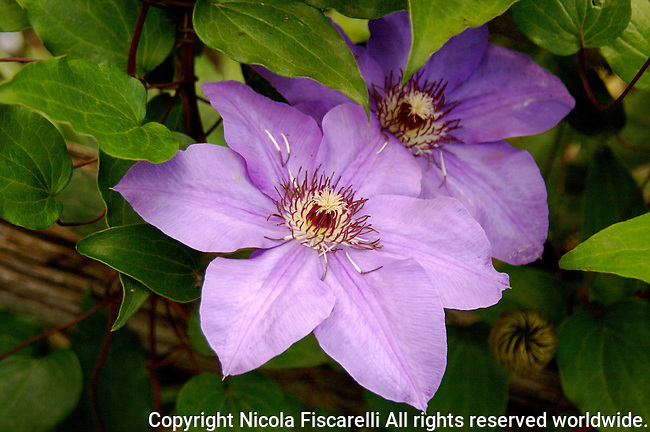 A close-up of a purple colored clematis in the sea of green foliage.