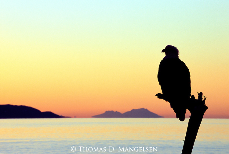 A sunset reminiscent of the colors of the desert Southwest silhouettes a bald eagle perched on a driftwood snag in Kachemak Bay, Alaska.