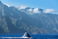 "A humpback whale does a ""fluke down"" dive off of the Na Pali Coast of Kaua'i."