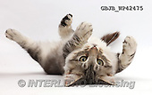 Kim, ANIMALS, REALISTISCHE TIERE, ANIMALES REALISTICOS, fondless, photos,+Silver tabby kitten, Loki, 3 months old, lying on his back,++++,GBJBWP42475,#a#
