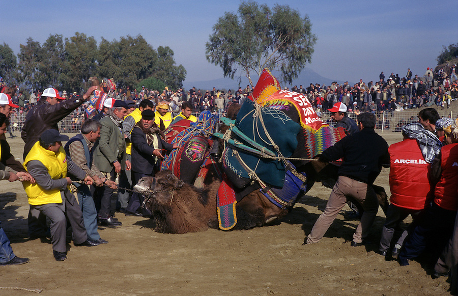 Selcuk, Turkey, 21/01/01..The traditional sport of camel wrestling is popular throughout western Turkey in the winter months; the largest event is the annual festival held in Selcuk on the third weekend of January. While fighting the camels frequently become entangled and have to be pulled apart by teams of stewards.