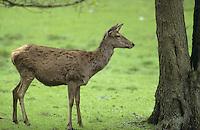 Rothirsch, Rot-Hirsch, Rotwild, Edelwild, Edelhirsch, Hirsch, Weibchen, Kuh, Hirschkuh, Cervus elaphus, red deer