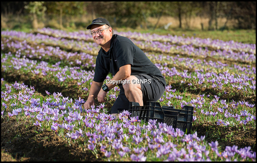 BNPS.co.uk (01202 558833)<br /> Pic: PhilYeomans/BNPS<br /> <br /> David's British grown saffron.<br /> <br /> New British tipple invented - just in time for summer.<br /> <br /> Intrepid British farmer David Smale is expanding his unusual empire in exotic saffron - by launching a luxury gin infused with the precious spice.<br /> <br /> David was among the first to reintroduce saffron to England's fields for the first time in 200 years when he started farming it a stone's throw of Saffron Walden in what was the heartland of British  production in Tudor times.<br /> <br /> Over the years local growers died out completely as the painstaking harvesting methods became too expensive to compete with cheap saffron imported from remote Iran and Kashmir.<br /> <br /> But plucky David has bucked the trend to revive the centuries-old tradition - and his burgeoning business is taking off so quickly that he is branching out into the drinks market.