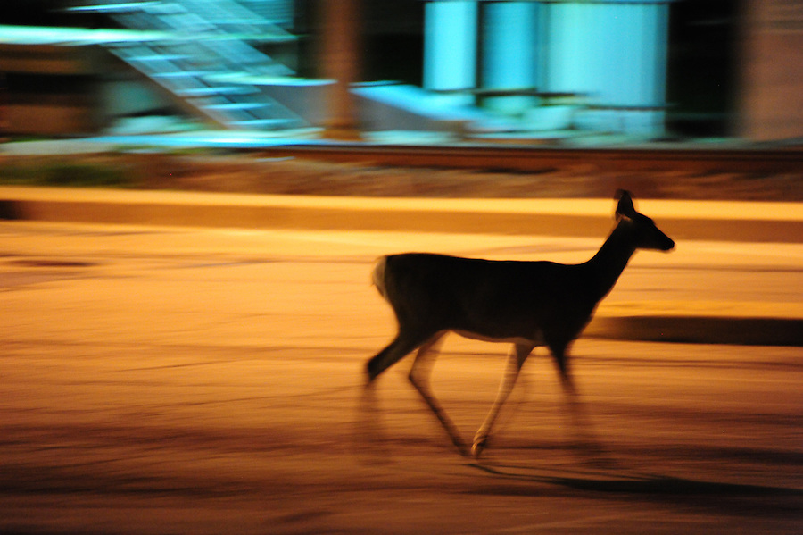 Deer at the Castle Shannon T station for the Red Line off Mt. Lebanon Blvd and Scott Road just after midnight About half a dozen does and adolescent deer grazed together with a 12 point buck about 100 yards behind them. Of a half a dozen does and adolescents, 2 were moving slowly with a limp. September 21, 2016. Jim Mendenhall photo