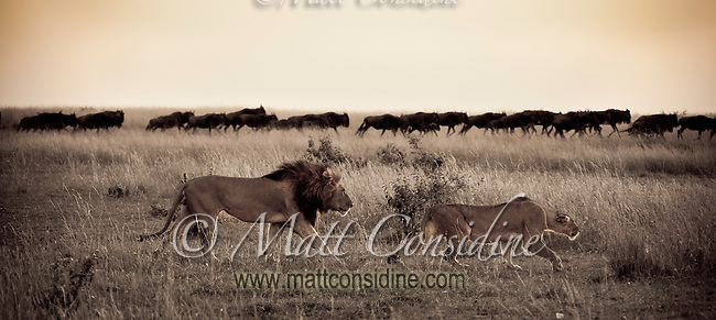 Lion and lioness stalking prey in evening light in the Masai Mara Reserve, Kenya, Africa (photo by Wildlife Photographer Matt Considine)
