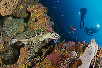 Eretmochelys imbricata, Echte Karettschildkroete an buntem Korallenriff mit Taucher, hawksbill sea turtle at colorful rocky coralreef with scuba diver, Insel Malpelo, Kolumbien, Ost Pazifik, Malpelo Island, Colombia, East Pacific Ocean, Santuario de Fauna y Flora Malpelo, UNESCO Weltnaturerbe, Malpelo Nature Reserve, World Heritage Site, MR Yes